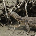 water-monitor-lizard-1226640_1920_copy_480x338